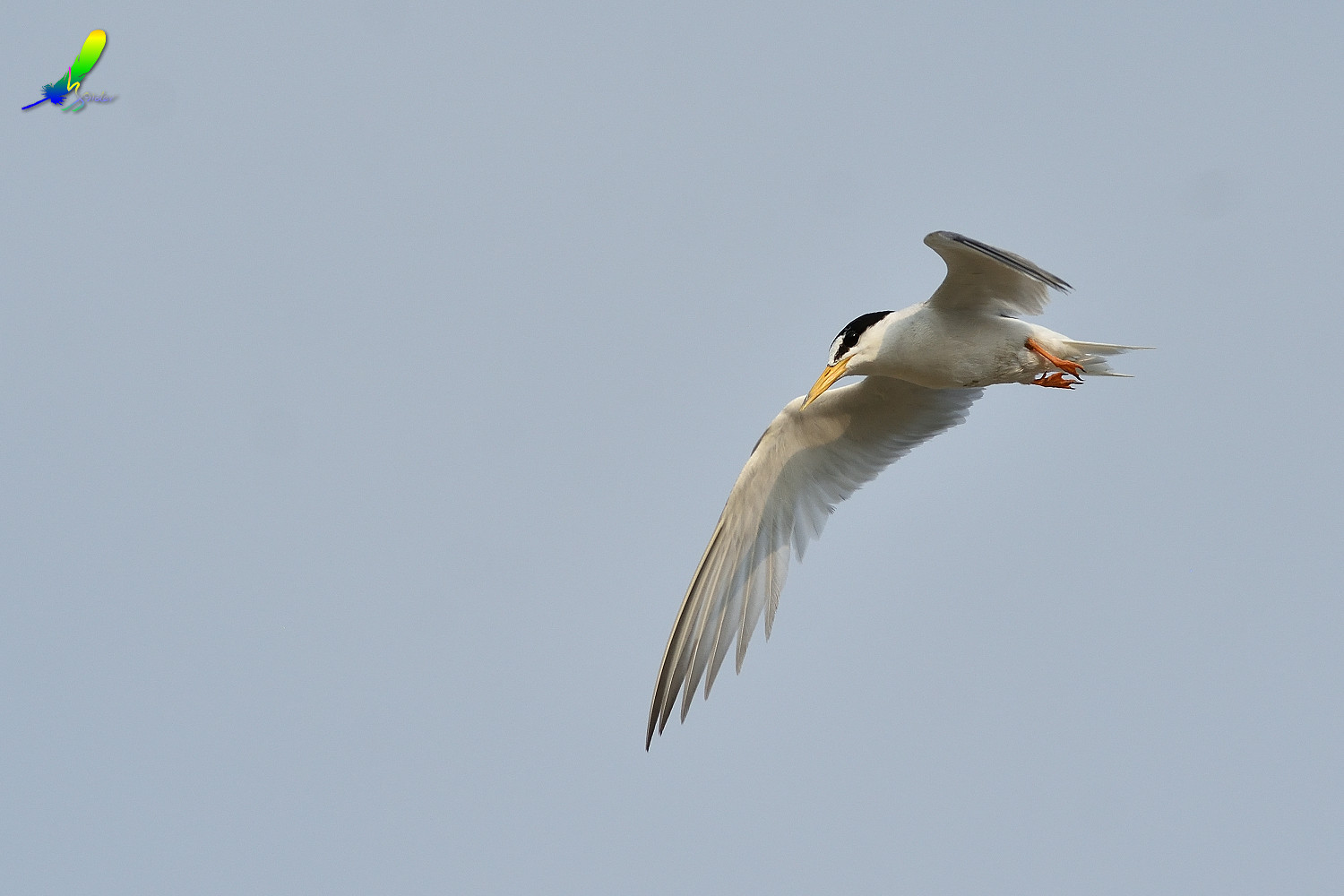 Little_Tern_9119