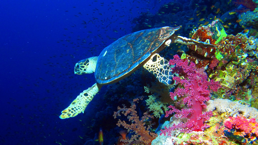 Hawksbill turtle at Elphinstone Reef, Red Sea, Egypt