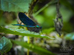 Dragonfly - Photo of Chaulgnes