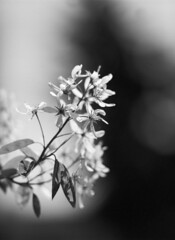 Serviceberry - 150mm Lens and Extension Tube #2