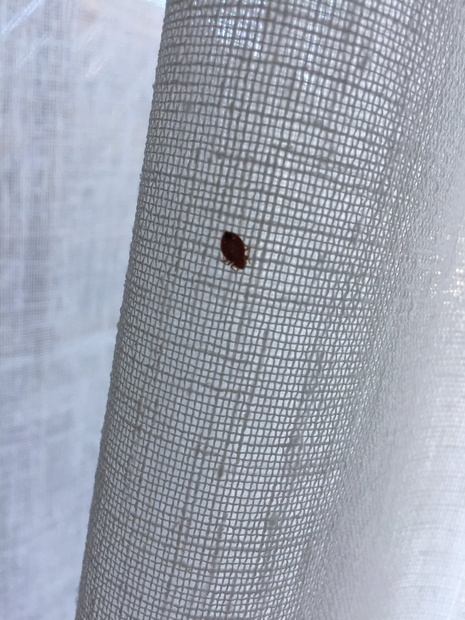 Bug ID/Advice Needed [a: adult male bed bug, carpet beetle larva ...