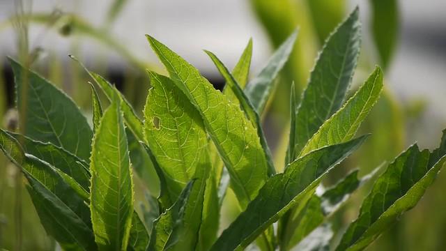 Lithospermum erythrorhizon