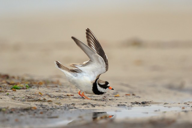 Sandregenpfeifer / Ringed Plover