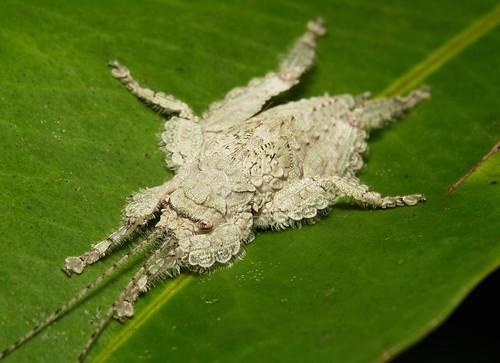 Katydid Nymph (Olcinia or Sathrophyllia sp., Cymatomerini, Pseudophyllinae, Tettigoniidae)