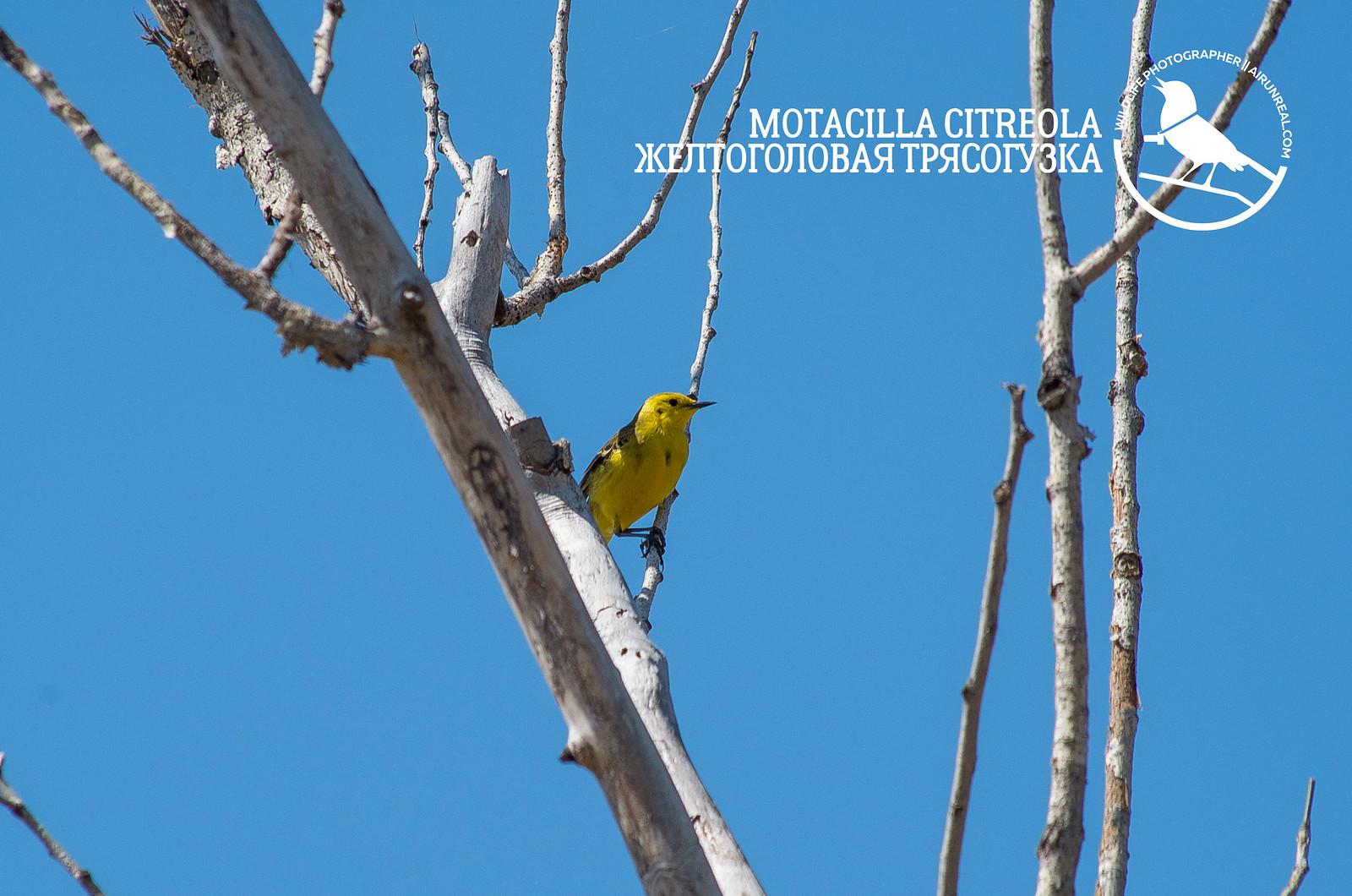 Motacilla citreola // 20170723