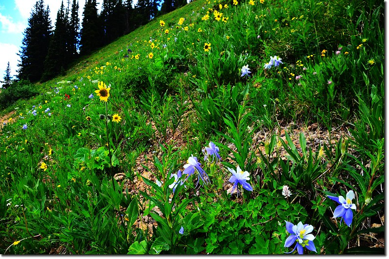 Wildflowers along the Arapaho Pass trail  (7)
