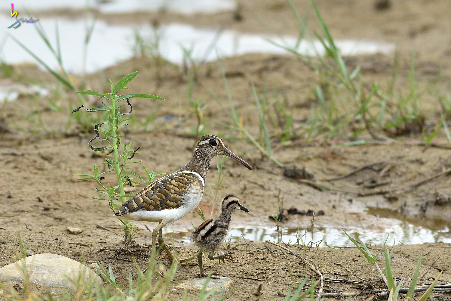 Painted_Snipe_1079