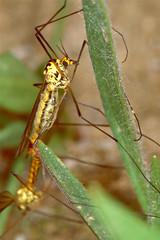 Craneflies (Nephrotoma appendiculata) mating