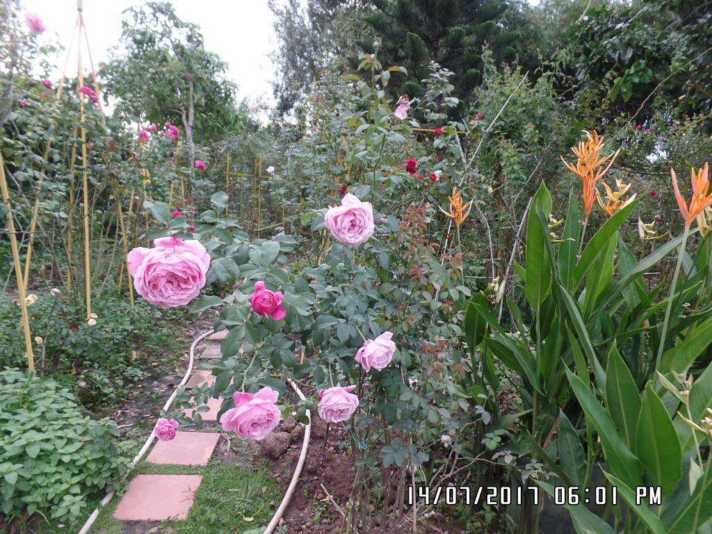 soeur emmanuelle rose (4)+vuonhongvanloan.com.JPG
