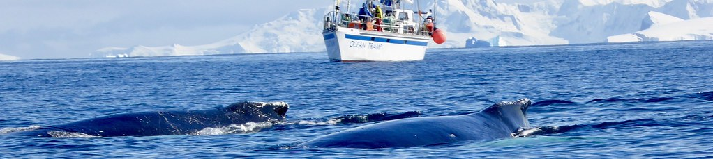 Expeditions-Trekking Antarktische Halbinsel. Wale vor unserem Segelschiff, vom Schlauchboot/Zodiak aus fotografiert. Foto: Rainer Schenk.
