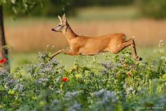 Airborne buck
