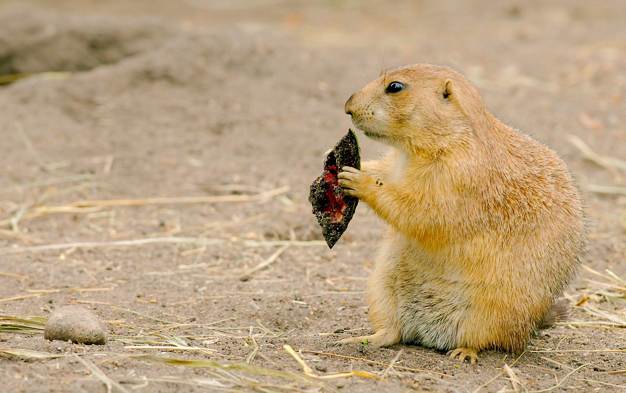 Prairie Dog_8