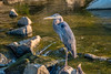 Great blue heron by Erinn Shirley