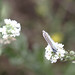 Small photo of Common blue on hoary alison