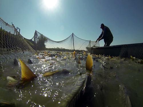 महाशीर मछली पालन