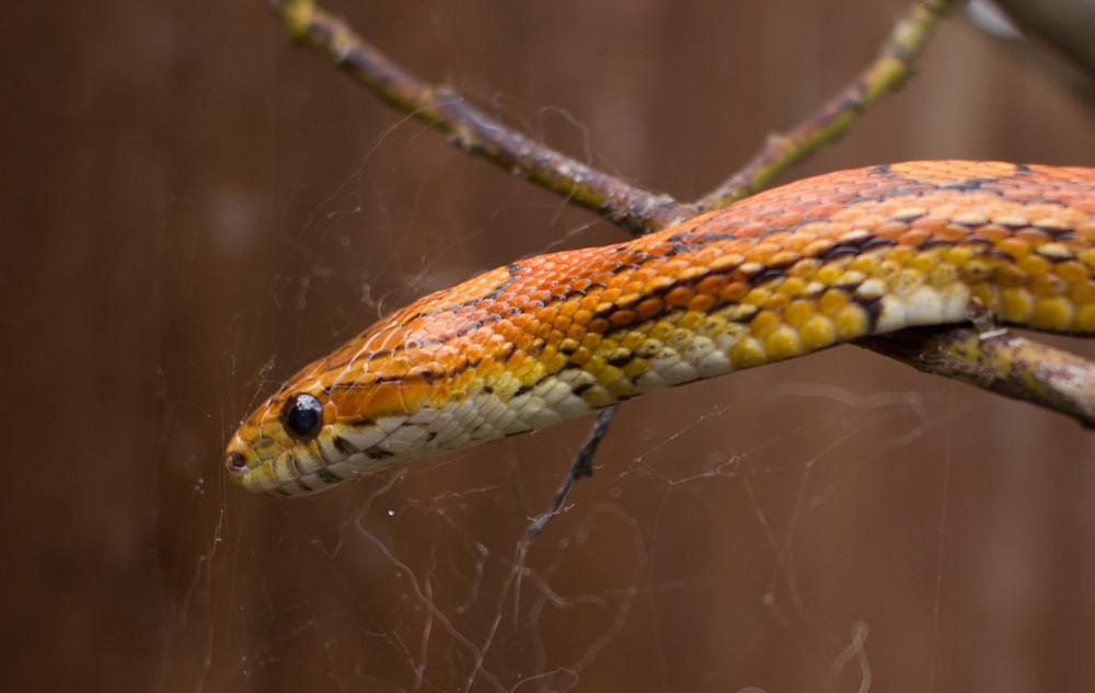 maggie, cornsnake, pet corn snake, rescue corn snake, corn snake, orange corn snake, orange black corn snake, common corn snake