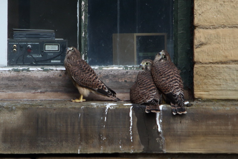 Salt's Mill Kestrels