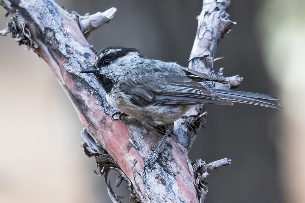 Mountain-Chickadee-290-7D2-071017