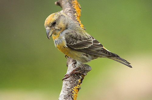 CROSSBILL....female....look on large.
