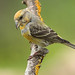 CROSSBILL....female....look on large. by Woodcock65
