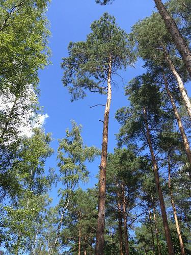 Grunewald trees