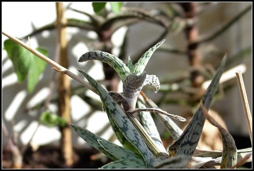 Aloe 'Lizard Lips' - Page 2 35999029435_6f9d1d150f