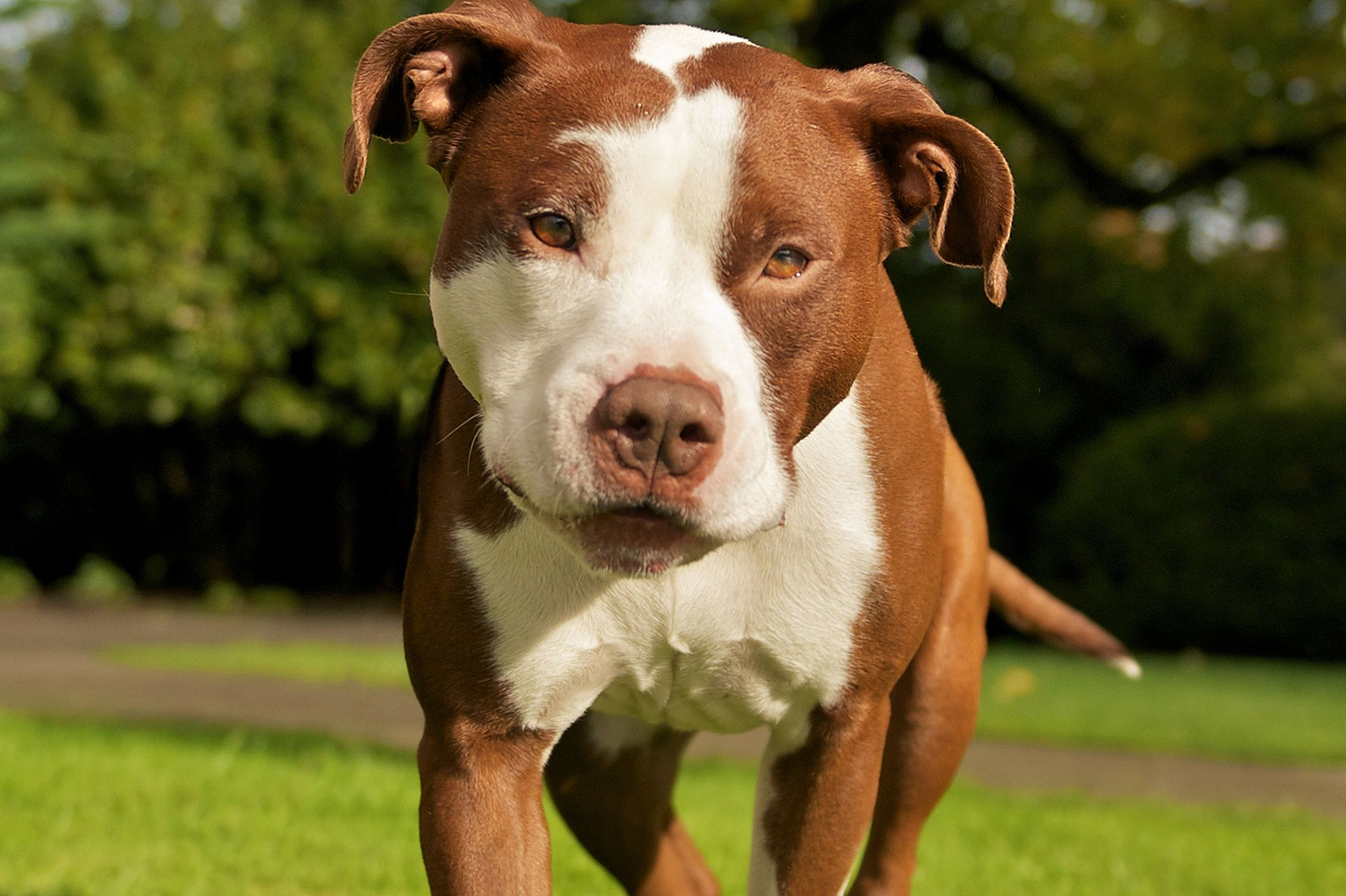Thinking Of Buying A Pitbull This Ones For You