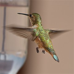 Hummingbird hovering at feeder