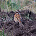 Pine Bunting (Alan Curry)