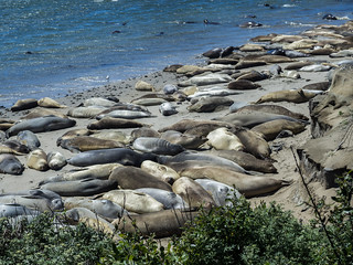 Elephant Seals at the Bight Beach Viewing Area on the Año Nuevo Point Trail