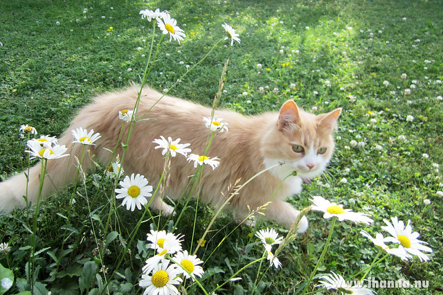 Smilla is my favorite cat - Photo by Hanna Andersson @ihanna #swedishsummer
