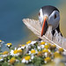 Puffin by KHR Images