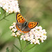 Small copper_4143