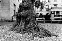 20170723-03-Knobbly tree