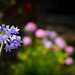 Small photo of More Agapanthus