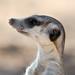 Meerkat portrait by PimGMX
