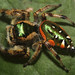 Golden Jumping Spider - Photo (c) David Hill, some rights reserved (CC BY)