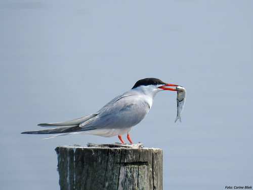 Common Tern with dinner