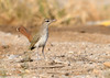 Rufous-Tailed Scrub Robin captured in Qatar.