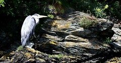 Grey Heron - Ardea cinerea. Nikon D3100. DSC_0047.