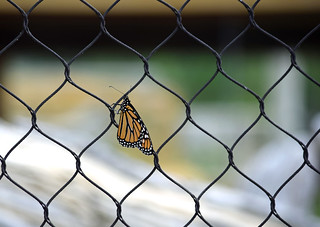 Butterfly Fence Friday!