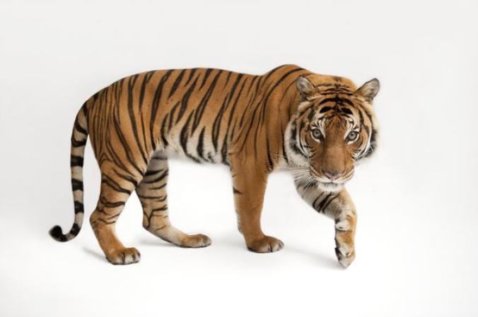 เสือโคร่งมลายู