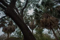 Sabal Palms - Mission San Jose - San Antonio - Texas - 04 February 2017
