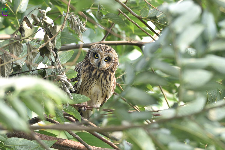 Short-eared_Owl_4008