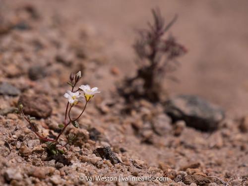 nevada native plant society - val in real life