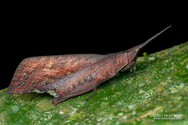 Dead leaf grasshopper (Caelifera) - DSC_7438