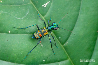 Tiger beetle (Cylindera sp.) - DSC_7374