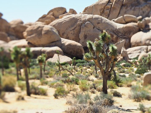 Joshua Trees - toy effect (lensbaby)