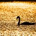 Backlit Sunset Swan