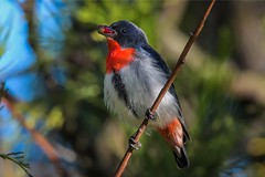 Mistletoebird: Male, with Cherry Ballart